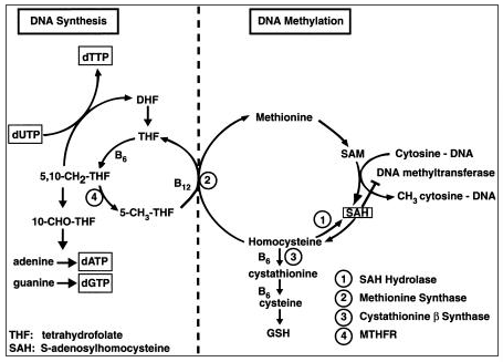 Think Supporting Methylation is an Alternative Health Fad